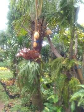 Pohon Kelapa Di Cipayung Olx Murah Dengan Harga Terbaik Olx Co Id