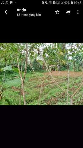 Tanah Kebun Untuk Dijual Pasir Mas