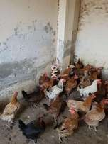 Hens for sell