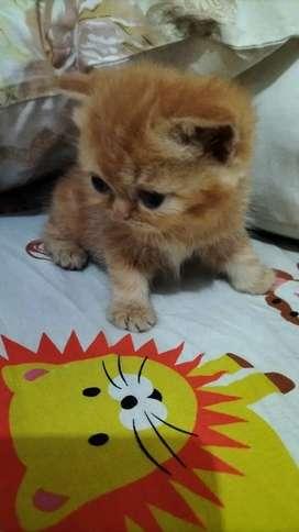 Himalaya Jual Hewan Peliharaan Kucing Terlengkap Di Yogyakarta D I Olx Co Id
