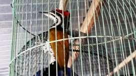 Masteran Jual Hewan Peliharaan Burung Terlengkap Di Tangerang Selatan Kota Olx Co Id