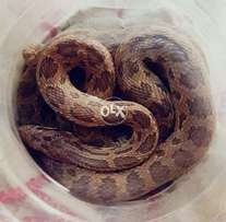 Beautiful reptile available