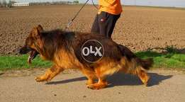 Pedigree Long Haired German Shepherd Male