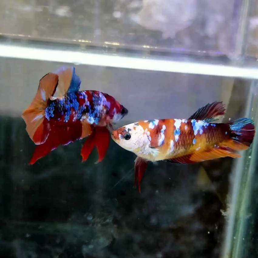 Cupang Nemo Galaxy Multicolor Bahan Size S Hewan Peliharaan 808285784
