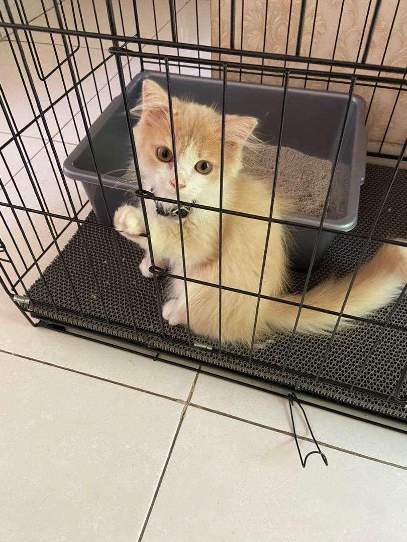 Kucing Persia Medium Betina Nama Kucing Esme Hewan Peliharaan 804398963