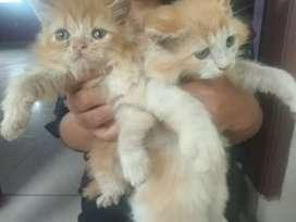 Download 66+  Gambar Kucing Anggora Anakan Paling Imut