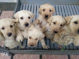 New And Used Dogs For Sale In Cebu City Cebu Olx Philippines