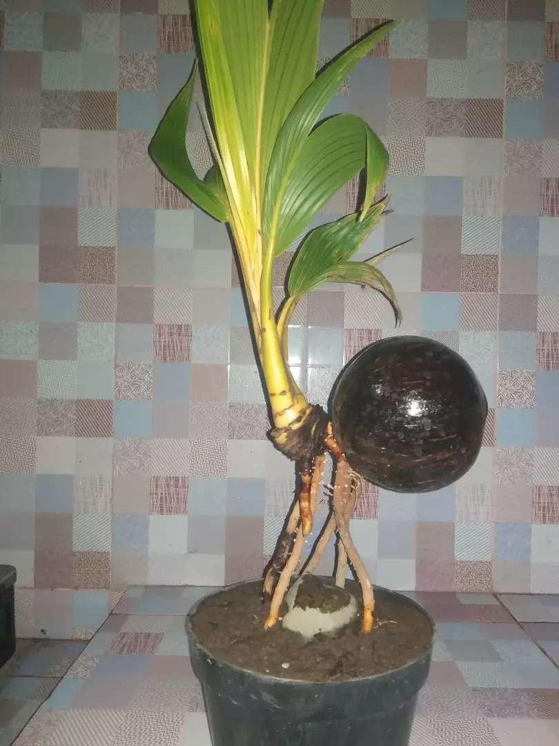 Bonsai Pohon Kelapa Barang Antik 786424545