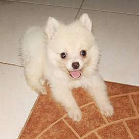 Anjing Pomeranian Mini Harga