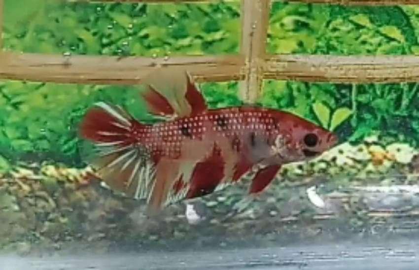 Cupang Nemo Gold Hewan Peliharaan 807113468