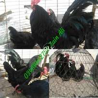 Australorp Chicken Breed Information - Australorp - Australorps are th