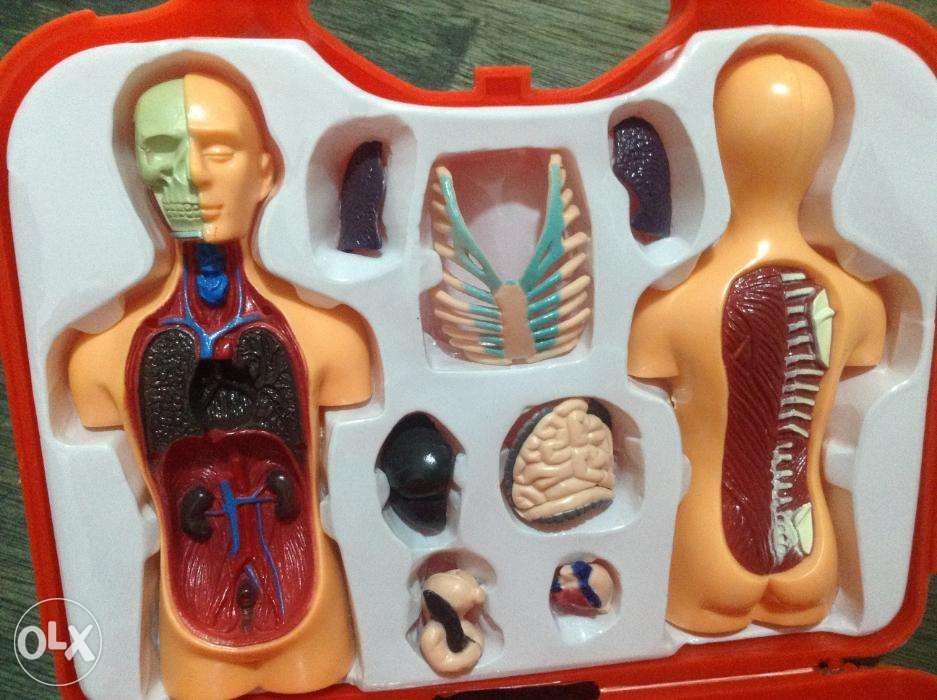 Human Anatomy Torso In Caloocan Metro Manila Ncr Olx