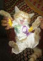 Persian punch face cat with low price 5999