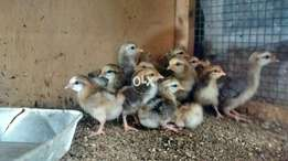 Old english game chicks zero size