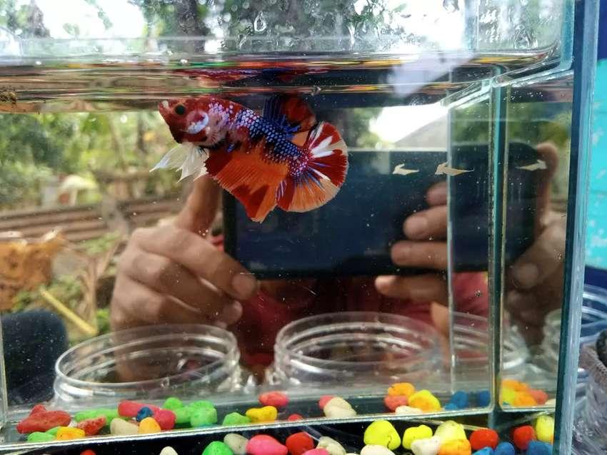 Jual Ikan Cupang Nemo Galaxy Hewan Peliharaan 806729129