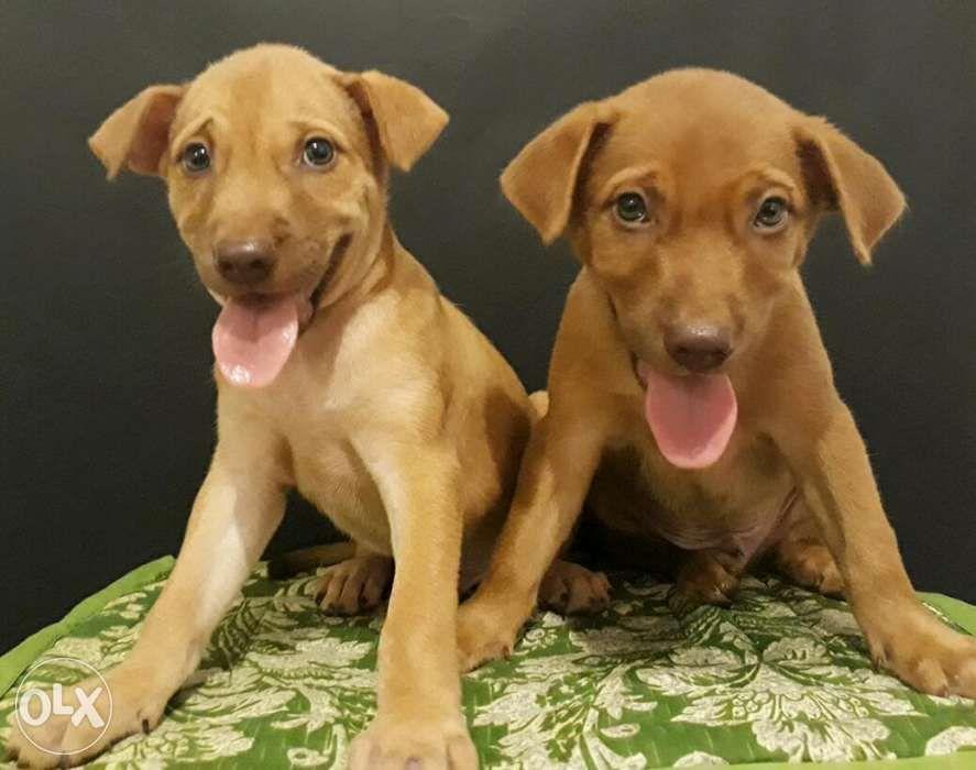 Golden Retriever X Labrador Puppies In Quezon City Metro Manila
