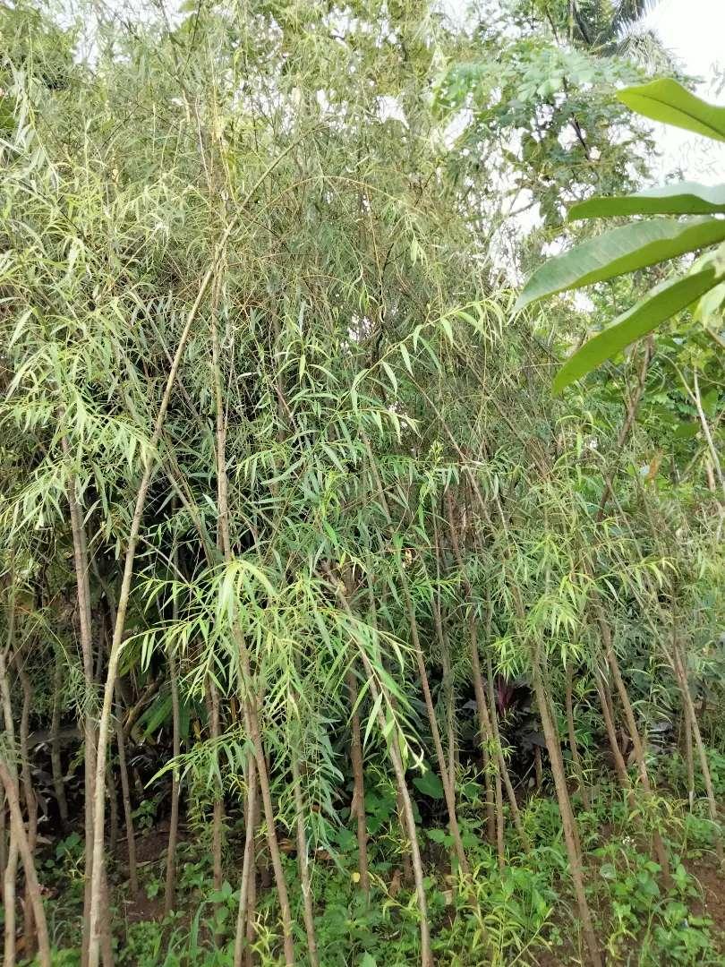Pohon Liangliu Atau Janda Merana Konstruksi Dan Taman 815765907
