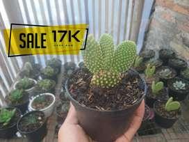 Kaktus Mini Dijual Konstruksi Dan Taman Murah Di Indonesia
