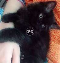 Black persian male tripple coat 2.5 months old