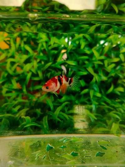 Ikan Cupang Plakat Nemo Galaxy Female Siap Breed Hewan Peliharaan 804387835