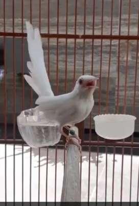 Albino Jual Hewan Peliharaan Burung Terlengkap Di Tangerang Kota Olx Co Id