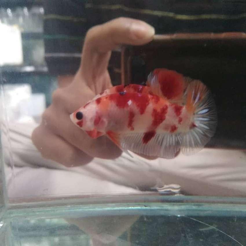 Ikan Cupang Nemo Hewan Peliharaan 807136566