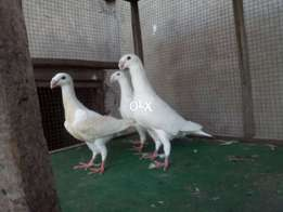 top class huge size long neck jerman beauty breeder pair with one chik