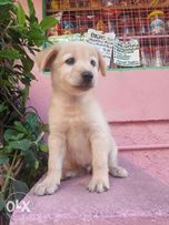 Find Animals And Pets For Sale 129 Results For Golden Retriever In