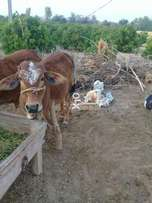 Cow for sell