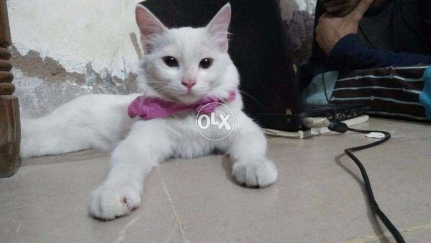 d08d957245 white turkish angora cat for sale - Cats - 857583333