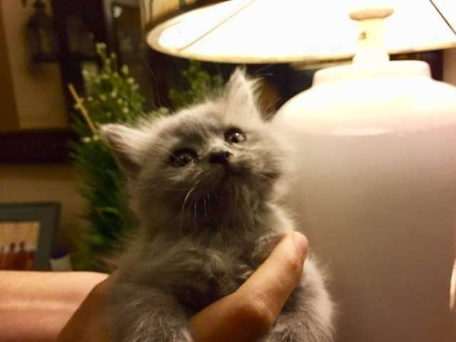 Pure Persian Breed Kitten For Sale Cats 1027393127