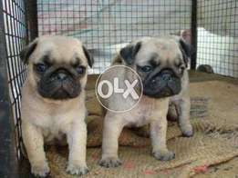 Top quality pug puppies available from imported parents