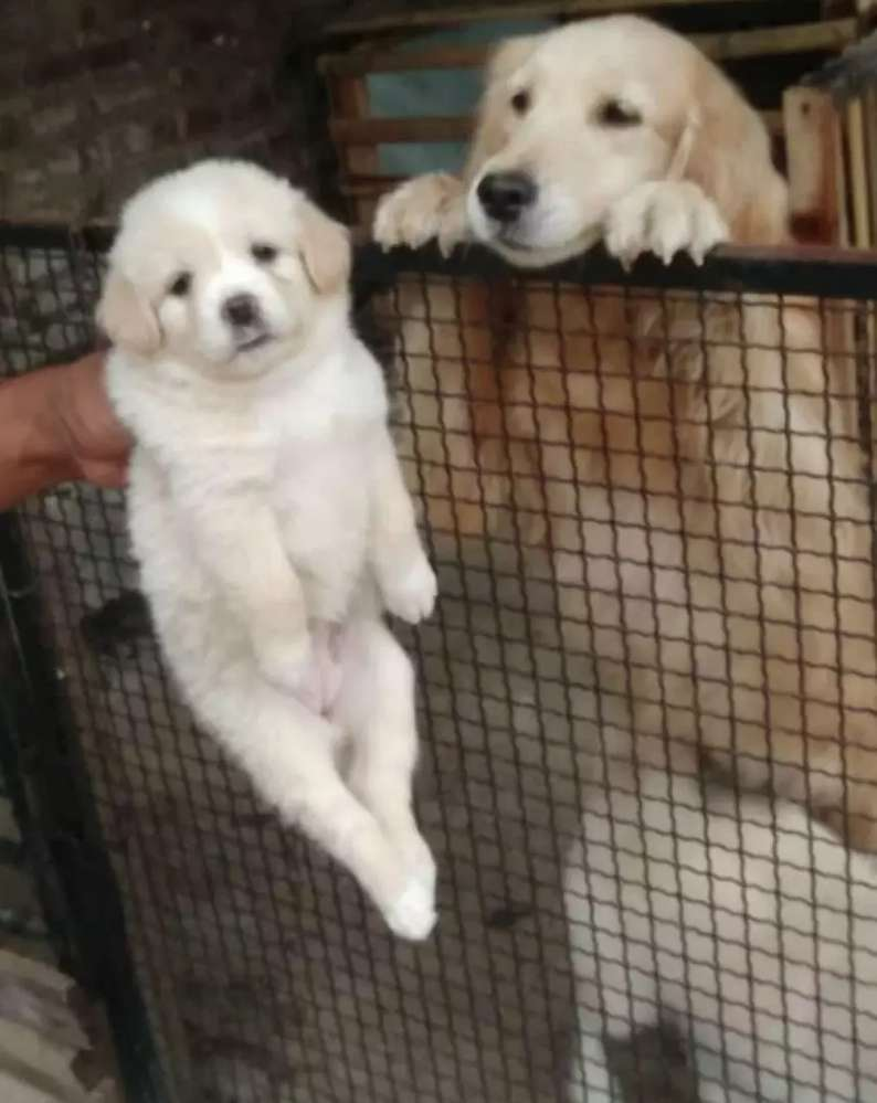 Golden Retriever Jual Hewan Peliharaan Anjing Terlengkap Di Indonesia Olx Co Id