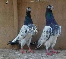 Tadi young pair for sale