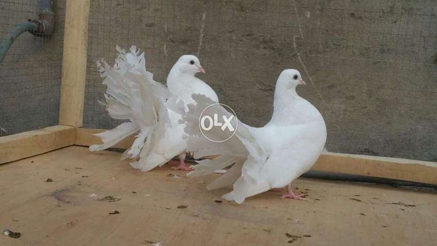 Super Quality Pigeons Fantails Lakka Sell