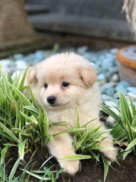 28++ Anjing peking campuran mini pom terbaru