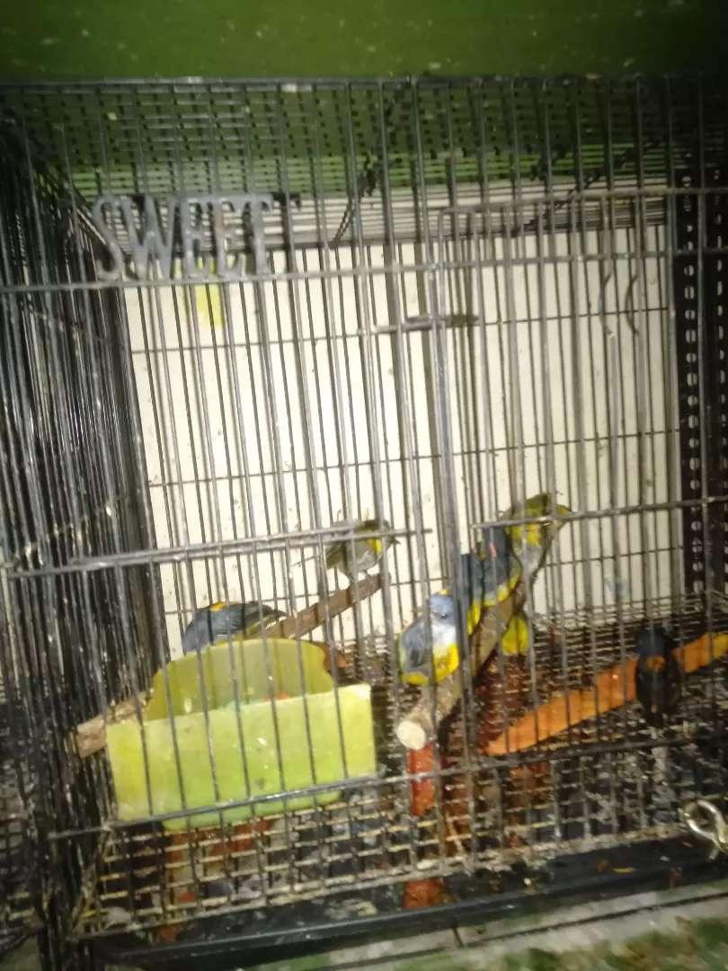Burung Cabe Cabean Hewan Peliharaan 806954948