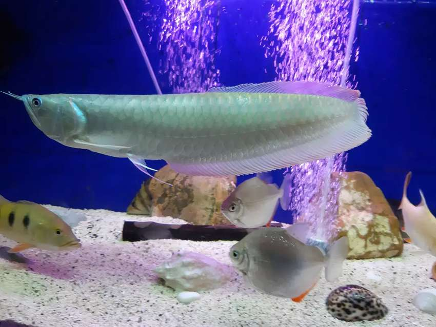 Jual Ikan Arwana Silver Red Ukuran Jumbo Anatomi Bagus Hewan