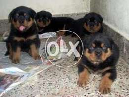 Show class rottweiler puppies available from pedigree lines