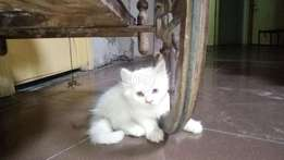Pure persian kittens available