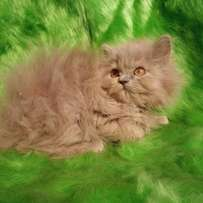 cash on delivery Persian kitten