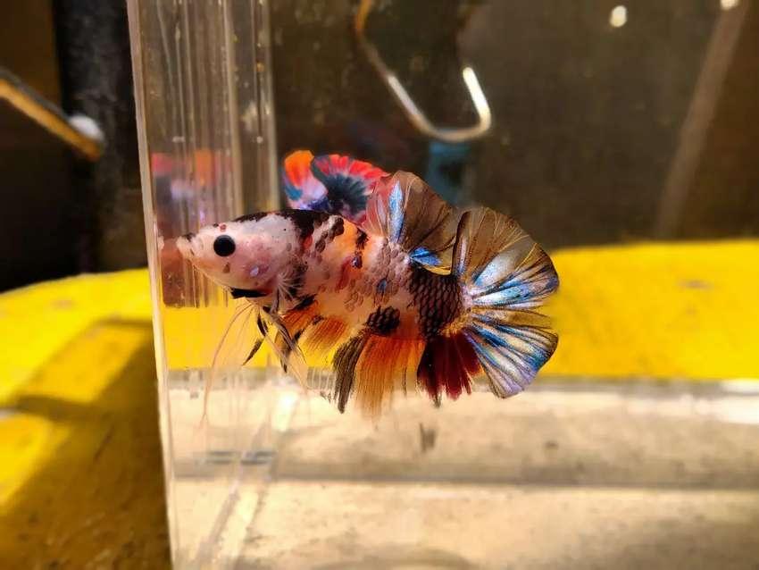 Ikan Cupang Giant Nemo Multi Hewan Peliharaan 806268465