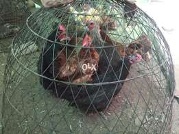 Ours Best Egg Laying Hens Chicken Hybrid Breeds Available in Bulk Quan