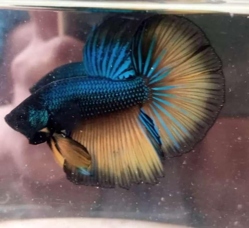 Jenis Jenis Ikan Cupang Avatar