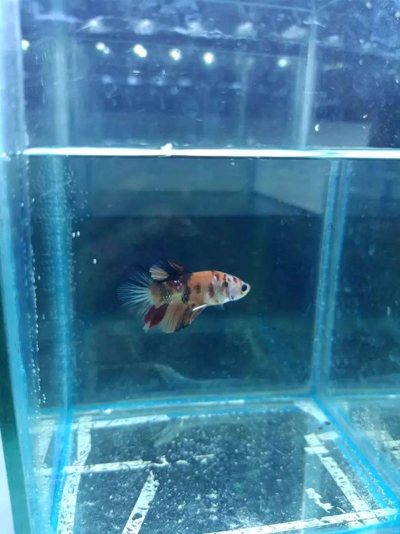 Ikan Cupang Nemo Orange Hewan Peliharaan 806841566