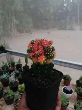 Kaktus Rumah Tangga Murah Cari Rumah Tangga Di