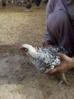 chicks for sell 40 days age