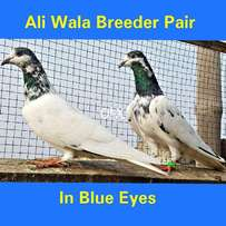 Ali Wala Pair Blue Eyes