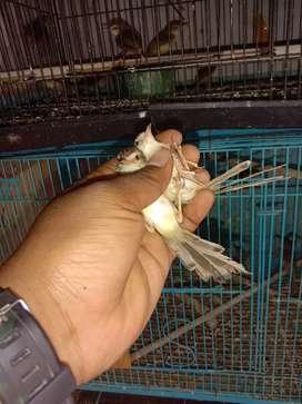 Ciblek Bahan Jual Hewan Peliharaan Burung Terlengkap Di Tangerang Selatan Kota Olx Co Id