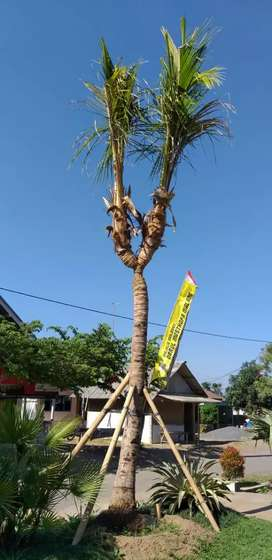 Pohon Kelapa Di Bogor Kota Olx Murah Dengan Harga Terbaik Olx